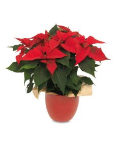 Red Poinsettia in a red pot